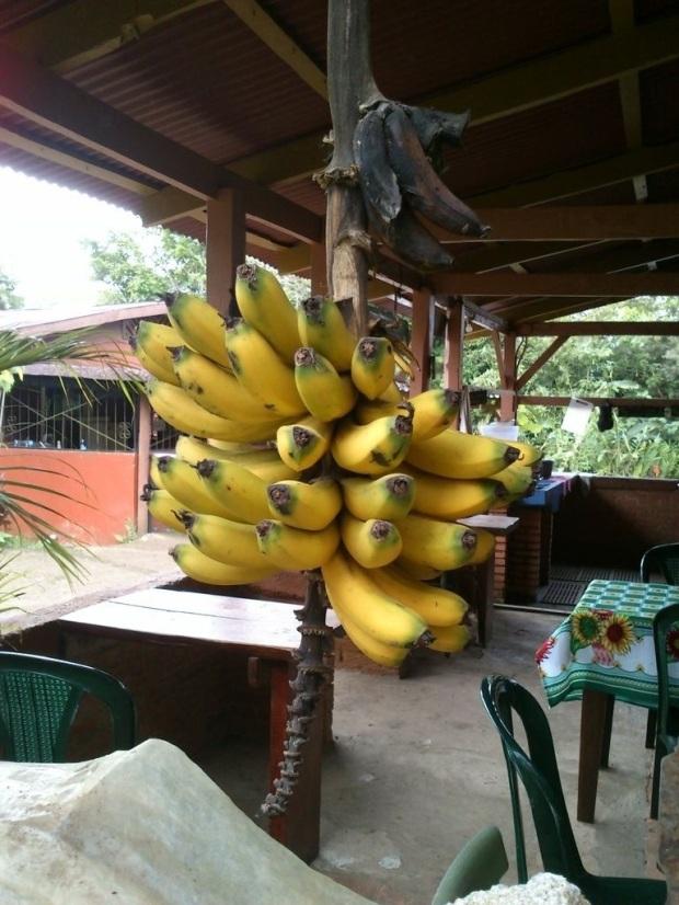Bananos en la Finca La Flor.jpg