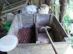 las semillas nuevas a la derecha, y las viejas, ya fermentadas de una semana, a la izquierda