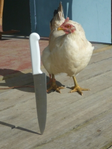 showing the hen what's coming (with a knife in front of it)...