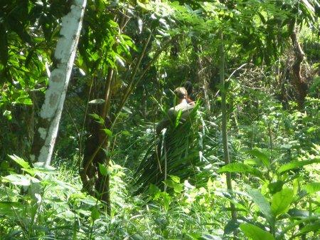 harvesting more royal palm leaves