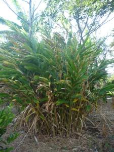 a cardamom plant