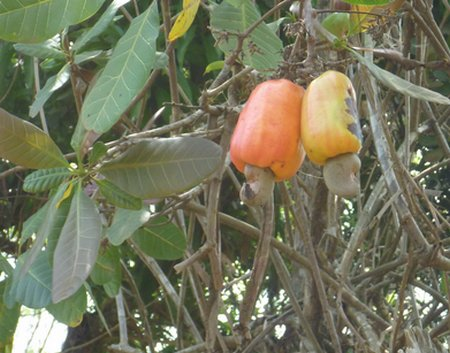 cashew fruits & nuts