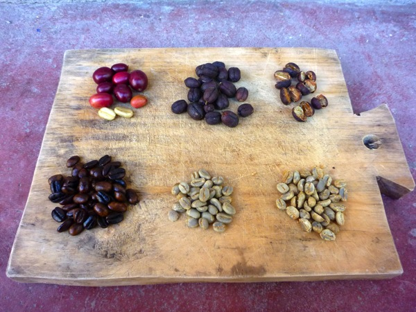 coffee berries in their different processing stages